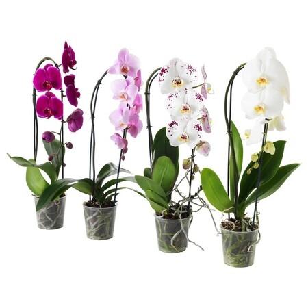 Phalaenopsis Planta Orquidea Cascada 1 Tallo 0413385 Pe570663 S5