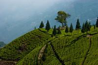 Turismo del té en Darjeeling, India