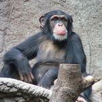 """Las chimpancés hembras juegan más con juguetes """"femeninos"""" que los chimpancés macho"""