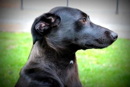 Microsoft lanza una aplicación que determina la raza de tu perro