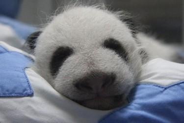 Ya puedes votar el nombre de la cría de oso panda del Zoo de Madrid