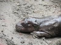 [Vídeo] El segundo hipopótamo pigmeo nacido en un zoo de Chile