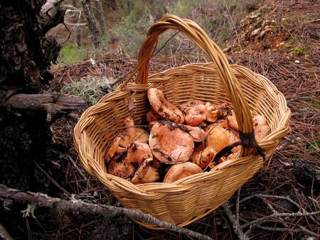 Todo sobre los níscalos o robellones: cómo seleccionar esta seta de otoño, cómo cocinarla y seis recetas para que brillen