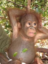 La comunicación por gestos de los orangutanes