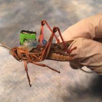 Los insectos que detectan bombas existen, y el ejército de EE.UU. está usándolos en pruebas