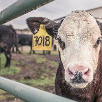 Los eructos de las vacas son incluso peor para el medioambiente de lo que se había calculado