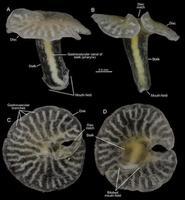 Se descubre un animal marino con forma de hongo que resulta inclasificable