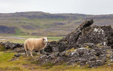 Islandia Oveja