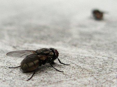 Hazañas espectaculares de animales extraordinarios (I): la mosca