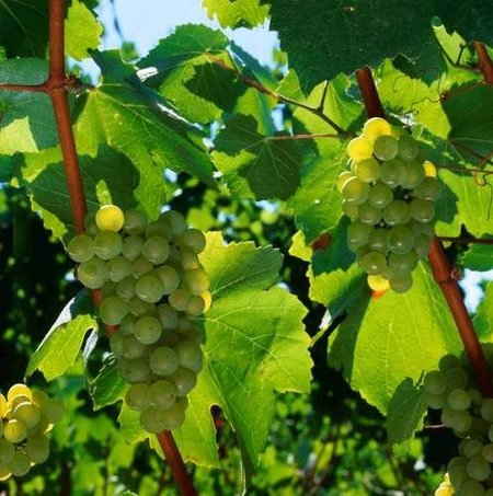 Protector solar para las viñas