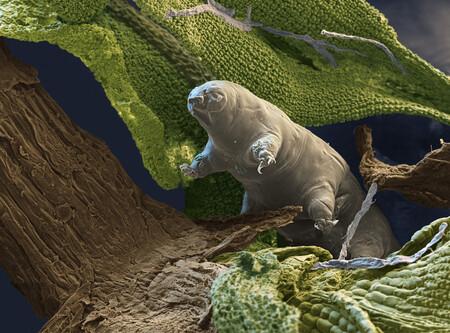 Se ha descubierto nueva especie de tardígrado: es un fósil con alto nivel de conservación único en su categoría