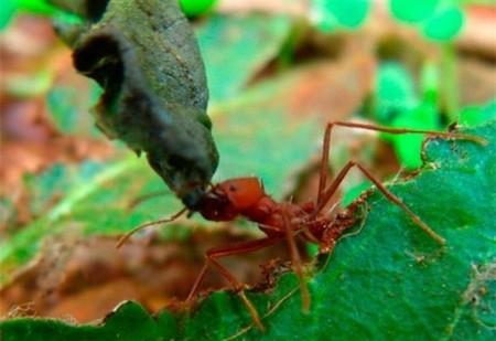 El uso de una bacteria por parte de hormigas les sirve para geolocalizar su nido