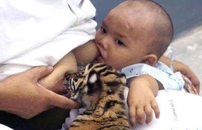 lactancia-tigre2.jpg