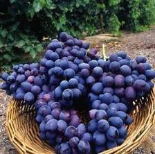 Manual para el cultivo de la uva