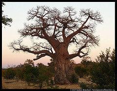 Conociendo al baobab