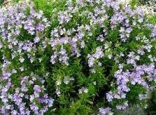 Ajedrea (satureja montana)