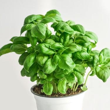 Todo sobre la albahaca, planta aromática imprescindible no solo en la cocina mediterránea (y siete recetas para disfrutarla)