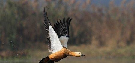 Estos patos pueden alcanzar una altura de casi siete kilómetros