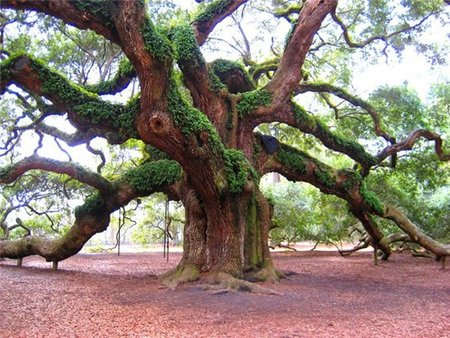 angel-oak2.jpg