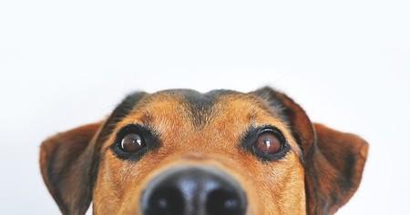 Los perros que se entrenan para detectar el coronavirus aciertan el 100 % de las veces