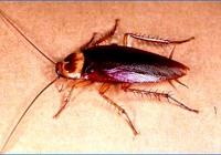 Las cucarachas que se esconden en vuestras cocinas