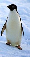 Singularidades extraordinarias de animales ordinarios (XL): el pingüino