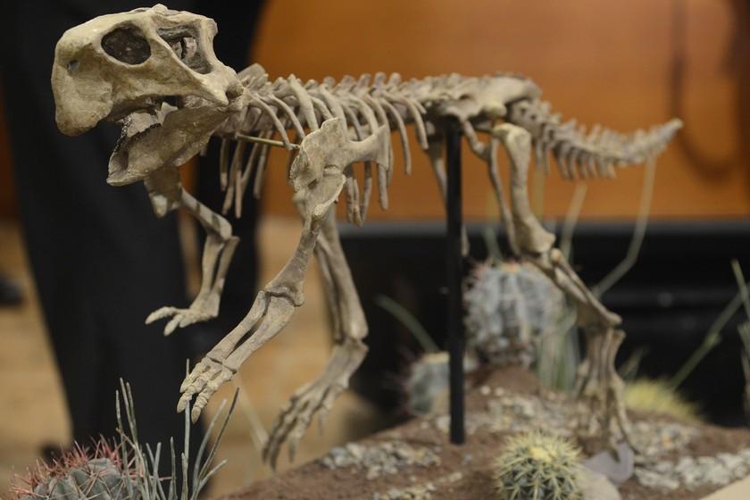 Este es el fósil completo de un Psittacosaurus y lo están exhibiendo en el Museo del Desierto, en Coahuila, México