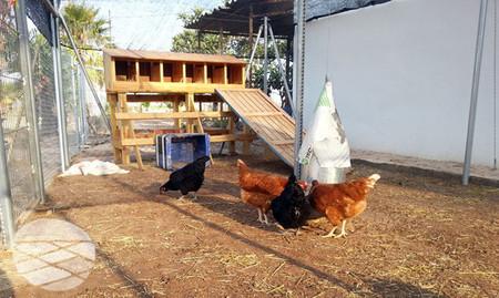 ¿Quieres huevos frescos y ecológicos? Apadrina una gallina