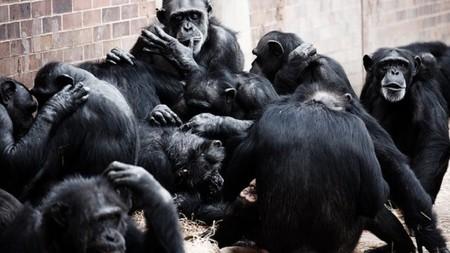 La I Guerra Chimpacé, explicada con software y redes sociales