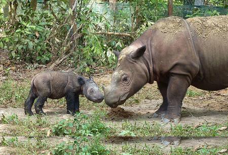 La lenta agonía del rinoceronte de Sumatra: muere el último macho que quedaba en Malasia y la cuenta atrás sigue en marcha