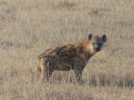 Spotted Hyena 517975 1920