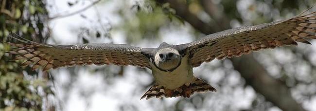 El Aguila Harpia La Mas Poderosa Del Planeta 2