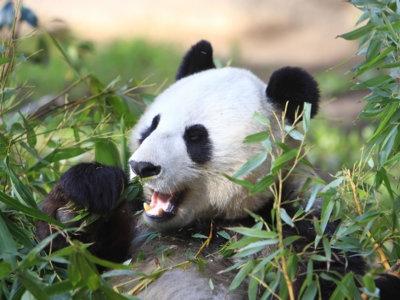 Mientras salvamos al oso panda porque es mono, dejamos extinguirse a los animales feos