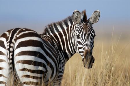 Blancas con rayas negras o negras con rayas blancas: el gran secreto de las cebras está en un potro de lunares que vive en Kenia