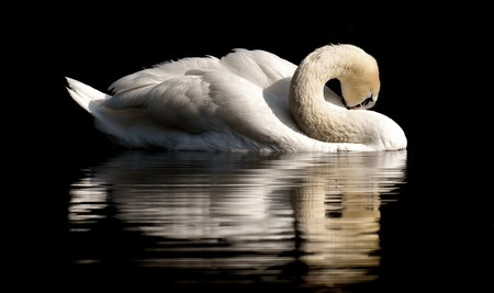 Swan 3466606 960 720