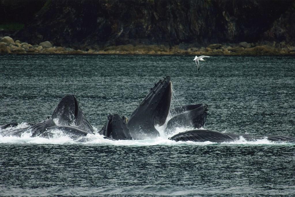 ballenas-jorobadas-reunion