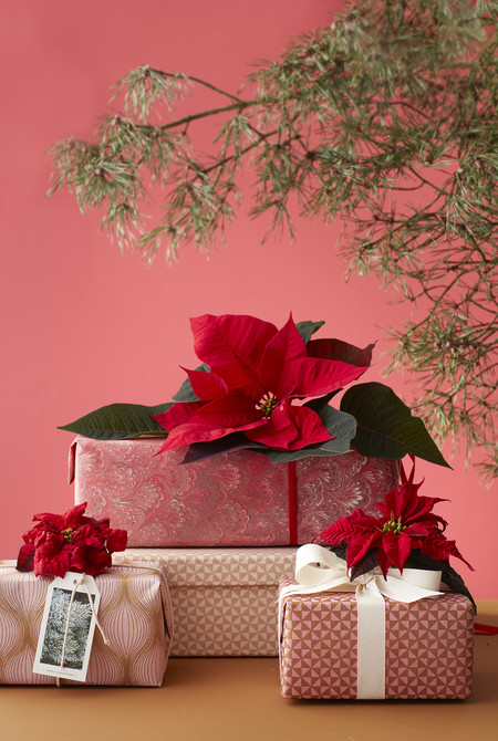 2016 Poinsettia Regalo 04 Es