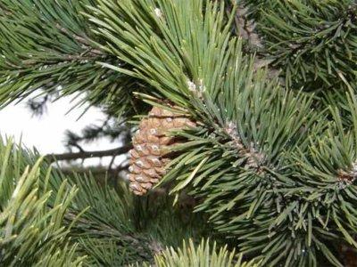 Propiedades medicinales del pino negro