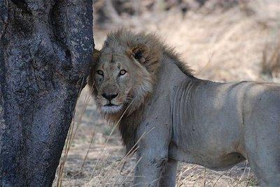 EE.UU. permite el consumo de carne de león