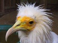 El pájaro de cabeza amarilla que comía caca para encontrar novia