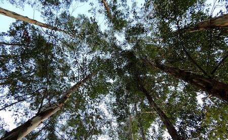 ¿Es el eucalipto una especie invasora? Según el Gobierno no, según sus científicos sí