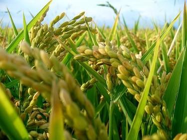 Harina de arroz: la harina en la cocina