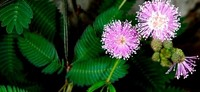 [Vídeo] La planta vergonzosa a escena