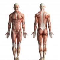 Diez curiosidades sobre los músculos que quizás no conocías