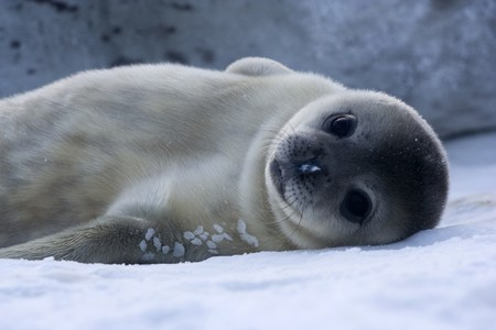 Bebe Phoque De Weddell Baby Weddell Seal