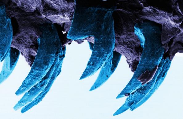 El material más duro de la naturaleza se esconde en los dientes de las lapas