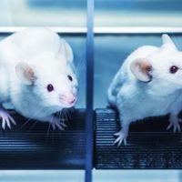 Un trasplante de células madre devuelve la vista a ratones ciegos