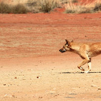 La valla fronteriza más larga del mundo no separa a dos países, sino a Australia de sus dingos