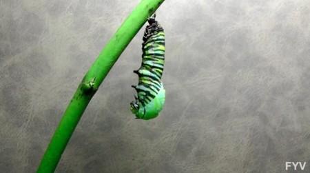 La asombrosa transformación de una oruga en mariposa monarca en vídeo time-lapse