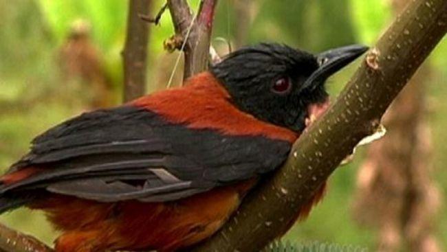 El único pájaro venenoso del mundo